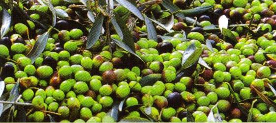 健康のために オリーブオイルは、「果実のフレッシュジュース」とも言われる唯一の果実油。果実の中に含まれている栄養素が加熱や分離をされずに製造されたオイルは、ビタミンE、ポリフェノール、葉緑素、そして植物性酵素が生きたままふくまれている、最も栄養にあふれているオイルなのです。a-トコフェロール、βカロチン等の天然の抗酸化物質が含まれていることで血中のコレステロールレベルを下げたり活性酵素を抑えるなど、健康維持に役立つと云われています。